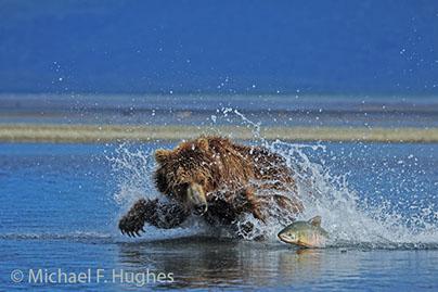 Bear Chasing Salmon